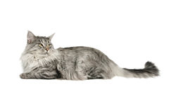 Tabby cat  lying Stock Photo