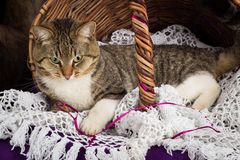 Tabby cat lying in a basket with white veil. Purple background. Stock Photos