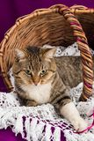 Tabby cat lying in a basket with white veil. Purple background. Stock Images