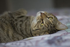 Tabby Cat lying on bed, bright eyes. Bright eyed tabby cat lying on a bed with bright green eyes Royalty Free Stock Photography