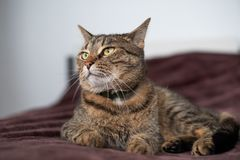 Tabby cat lying on the bed and looking aside with selfish view. Tabby cat lying on the bed and looking aside with proud and selfish view Stock Photography