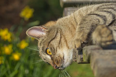 Tabby cat is lying on a bench Royalty Free Stock Images