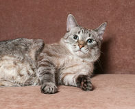 Tabby cat  lying on couch Royalty Free Stock Photography
