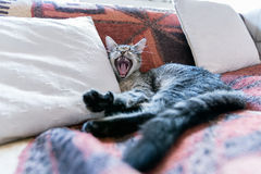 Tabby cat. Lying on a couch, yawning Royalty Free Stock Photos