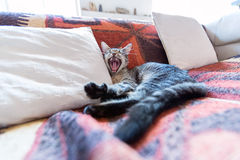 Tabby cat. Lying on a couch, yawning Royalty Free Stock Photography