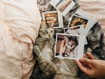 Tabby cat lying down comfortably in bed and several retro photos. Tabby cat lying down in bed and several retro photos royalty free stock images