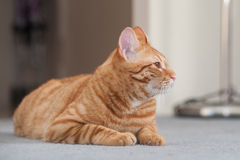Tabby cat lying down showing right profile. Royalty Free Stock Photos