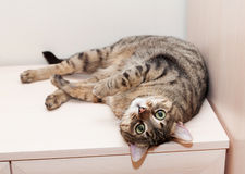 Tabby cat lying on dresser feet up Royalty Free Stock Image