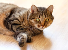 Tabby cat lying on the floor and looks. Tabby young cat lying on the floor and looks royalty free stock image