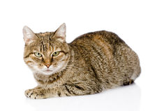 Tabby cat lying in front and looking at camera. isolated Stock Photos