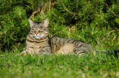 Tabby cat is lying in the garden by the tree. The cat is a pet, the family loves her. She is beautiful, happy and quiet. The garden belongs to the house where stock photography