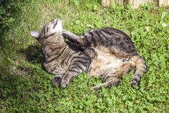 Tabby cat is lying in the grass Royalty Free Stock Images