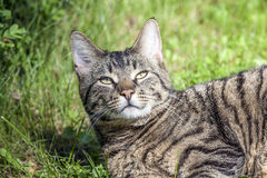 Tabby cat is lying in the grass Stock Photography