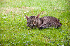 Tabby cat lying on green grass.  Stock Image