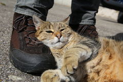Tabby cat lying on a hiking boot Royalty Free Stock Image