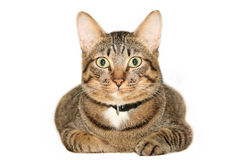 Tabby Cat. Lying cat isolated on white background Stock Photography