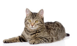 Tabby cat lying and looking at camera. isolated on white. Background Stock Photo