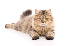 Tabby cat lying and looking Stock Photos