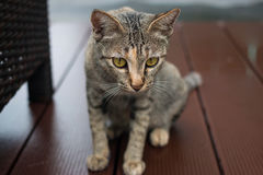 Tabby cat. Lying of luxury hotel, Thailand royalty free stock photo