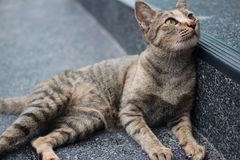 Tabby cat. Lying of luxury hotel, Thailand royalty free stock image