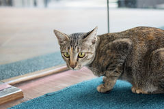 Tabby cat. Lying of luxury hotel, Thailand royalty free stock images