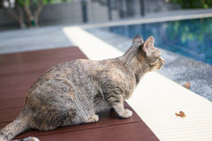 Tabby cat. Lying of luxury hotel, Thailand stock images
