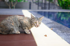 Tabby cat. Lying of luxury hotel, Thailand stock image