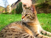 Tabby cat lying outside. On grass stock photography