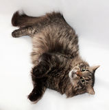 Tabby cat lying paws up on gray Royalty Free Stock Photo