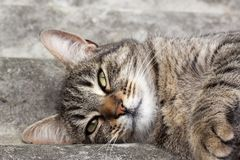 Tabby cat lying on a slate and resting. Tabby cat lying on a slate roof and resting royalty free stock image