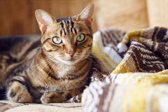 Tabby cat lying on a sofa at home Stock Photos