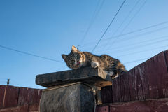 Tabby cat lying on top of wooden fence and licked. Tabby cat lying on top of red wooden fence and licked Stock Images