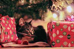 Tabby Cat Lying Under Christmas Tree With Gifts Stock Images