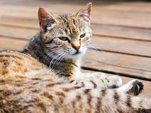 Tabby cat lying, watching, bright colours. Tabby cat lying on a wood and watching, portrait, bright colours Royalty Free Stock Photography