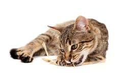 Tabby cat lying on white Royalty Free Stock Photo
