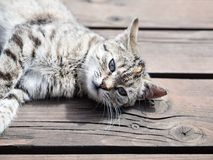 Tabby cat lying on a wood, soft colours. Tabby cat lying on a wood, , soft colours Royalty Free Stock Image