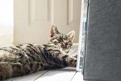 Tabby cat lying on wooden floor near open door. Tabby cat lying on wooden floor near an open door Royalty Free Stock Photography
