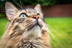 Tabby Cat Maine Coon Outdoors Watching Birds fotografia de stock royalty free