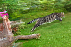 Tabby cat makes a big leap in the garden Stock Image