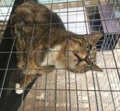 Tabby Cat masculina mayor con acné felino foto de archivo