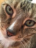 Tabby Cat masculine renversante avec les yeux verts Photo stock