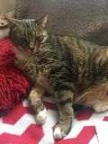 Tabby Cat masculine supérieure diabétique Photographie stock libre de droits