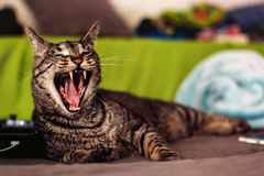 Tabby Cat. Mature, male, tabby cat lying on a couch inside and yawning -- image taken outdoors using natural light Stock Photos