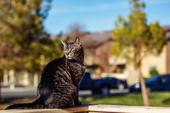 Tabby Cat. Mature, male, tabby cat walking on the wall of a patio -- image taken outdoors using natural light Royalty Free Stock Image