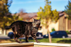 Tabby Cat. Mature, male, tabby cat walking on the wall of a patio -- image taken outdoors using natural light Royalty Free Stock Photo