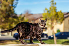 Tabby Cat. Mature, male, tabby cat walking on the wall of a patio -- image taken outdoors using natural light Royalty Free Stock Photography