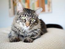 Tabby Cat med gröna ögon på kräm- ark royaltyfria bilder