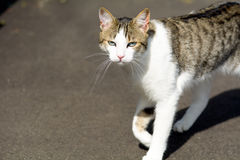 Tabby cat meowing Stock Photo