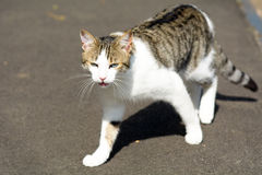 Tabby cat meowing Royalty Free Stock Photos