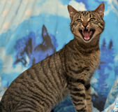 Tabby cat meows. Cute tabby cat on a blue backgroundn royalty free stock photography